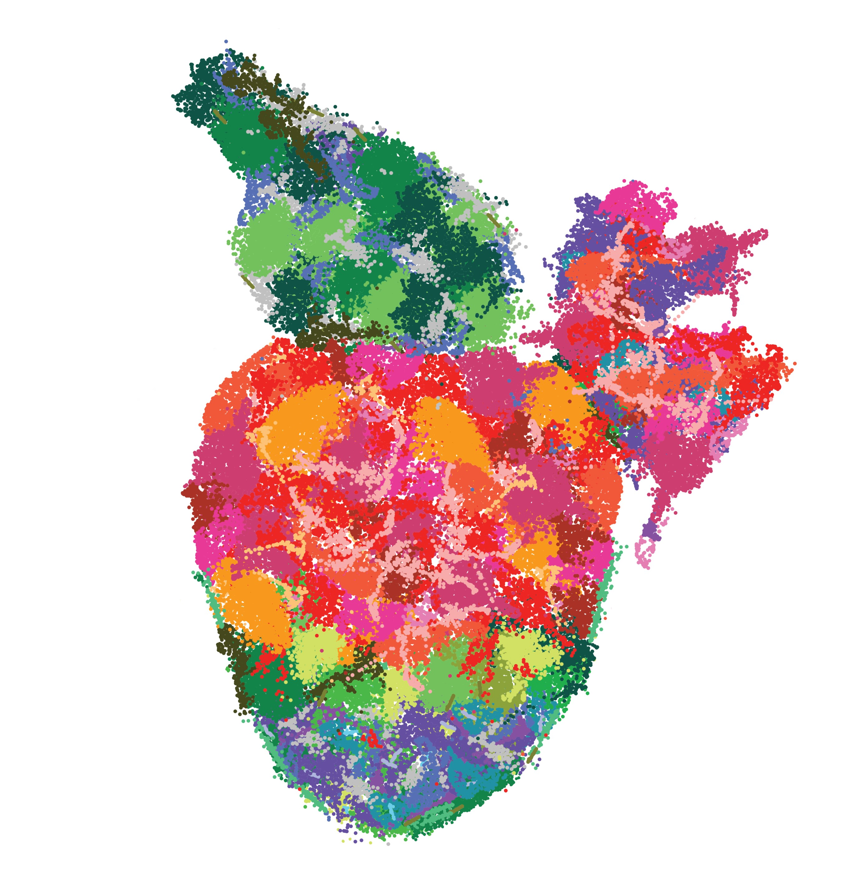Multi-coloured image of adult zebrafish heart to show single cell sequencing data.